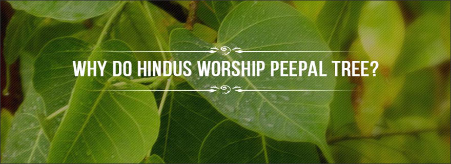Peepal-worshipped