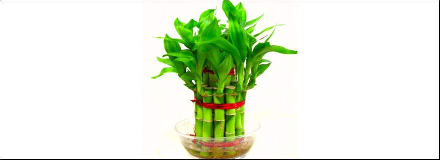 Bamboo-Plant